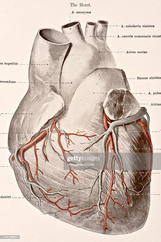A medical illustration from 'HandAtlas of Human Anatomy volume 2' shows the veins of the heart view from above in front 1923
