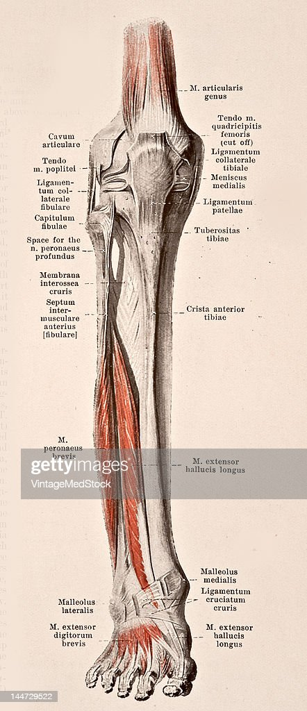 A medical illustration from 'HandAtlas of Human Anatomy volume 2' shows the right leg 1923