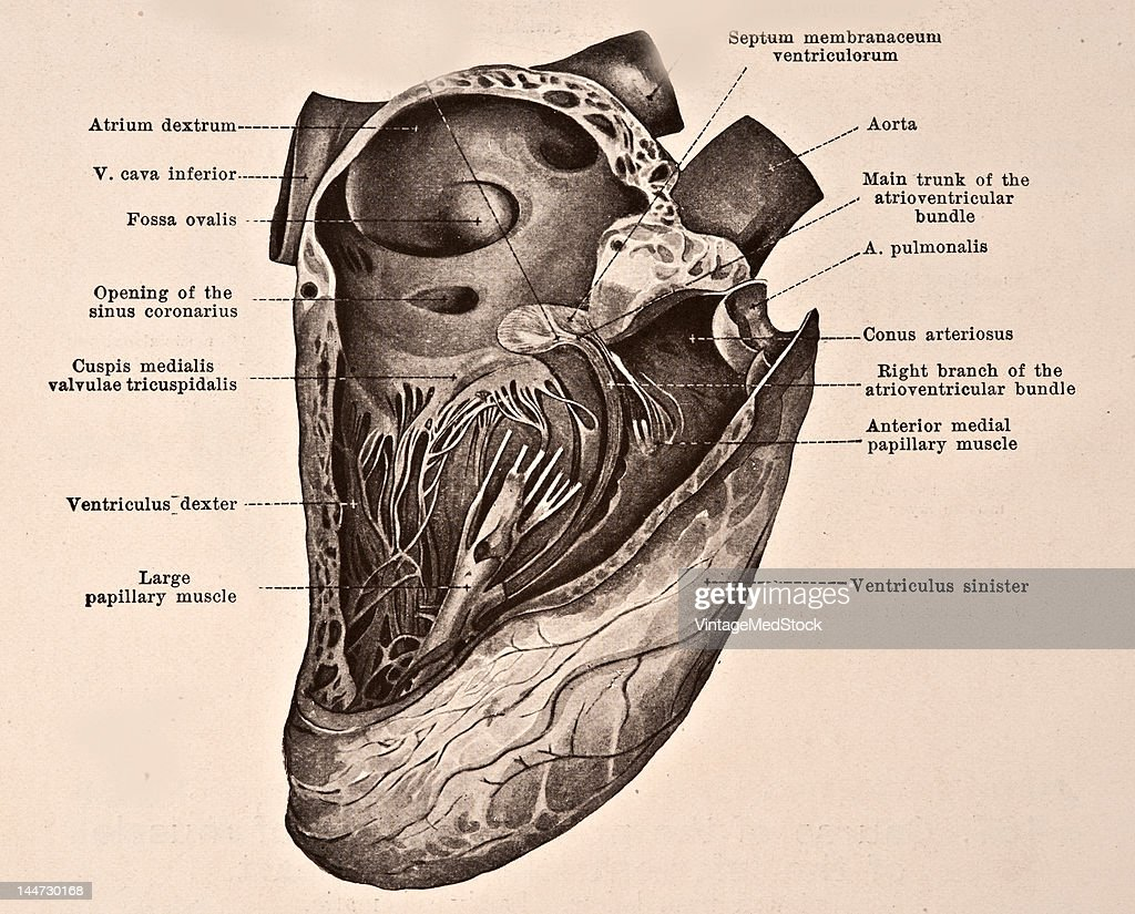 A medical illustration from 'HandAtlas of Human Anatomy volume 2' shows the atrioventricular bundle and its distribution of the right ventricle 1923