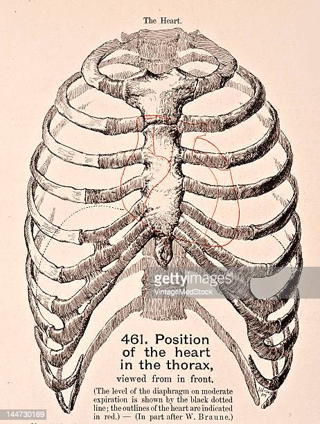A medical illustration from 'HandAtlas of Human Anatomy volume 2' shows the position of the heart in the thorax viewed from in front 1923