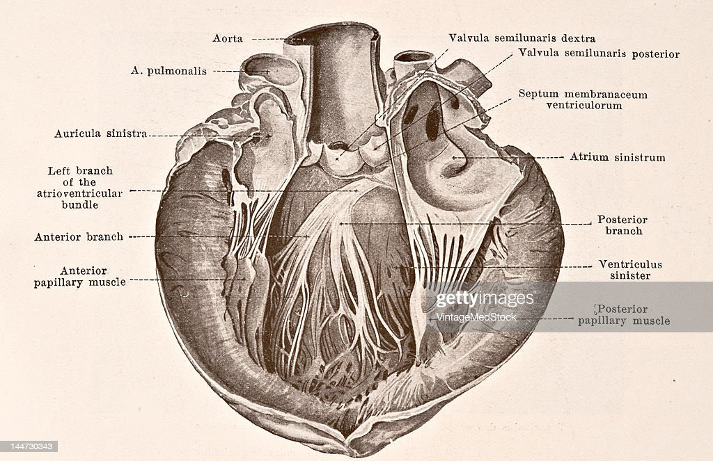 A medical illustration from 'HandAtlas of Human Anatomy volume 2' shows the atrioventricular bundle and its distribution of the left ventricle 1923