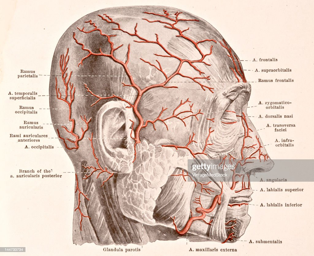 A medical illustration from 'HandAtlas of Human Anatomy volume 2' shows the superficial arteries from of the face viewed from the right 1923