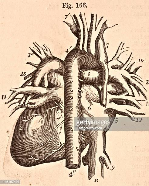 A medical illustration from 'Quain's Elements of Anatomy Eighth Edition VolII' depicts a view of the heart and great vessels from behind 1876