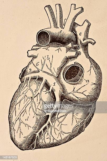 A medical illustration from 'Quain's Elements of Anatomy Eighth Edition VolII' depicts the view of the adult heart from behind to show the coronary...