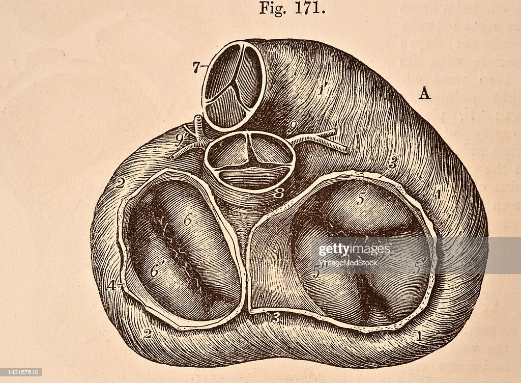 A medical illustration from 'Quain's Elements of Anatomy Eighth Edition VolII' depicts the view of the base of the ventricular part of the heart 1876...