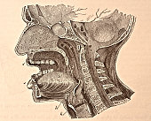 A medical illustration from 'Quain's Elements of Anatomy Eighth Edition VolII' depicts an anteriorposterior vertical section through the head a...
