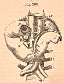 A medical illustration from 'Quain's Elements of Anatomy Eighth Edition VolII' depicts the duodenum from the front 1876