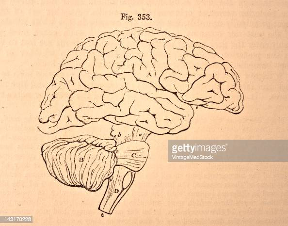 A medical illustration from 'Quain's Elements of Anatomy Eighth Edition VolII' depicts the plan in outline of the encephalon as seen from the right...
