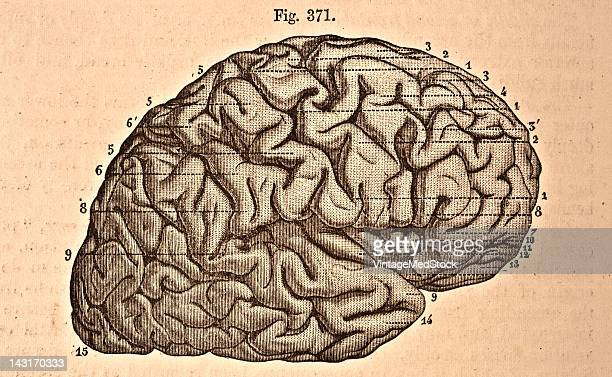 A medical illustration from 'Quain's Elements of Anatomy Eighth Edition VolII' depicts the lateral view of the right cerebral hemisphere 1876