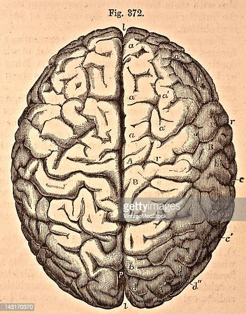A medical illustration from 'Quain's Elements of Anatomy Eighth Edition VolII' depicts the upper surface of the brain 1876 Visible are the...