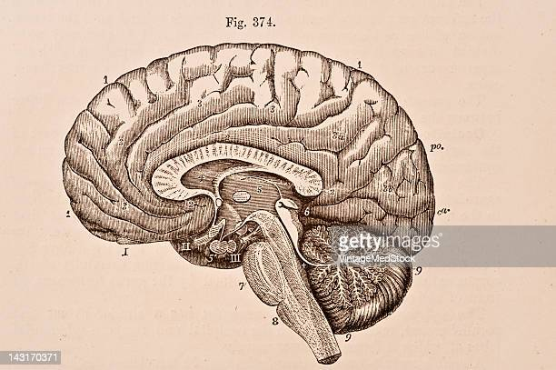 A medical illustration from 'Quain's Elements of Anatomy Eighth Edition VolII' depicts the right half of the brain divided by a vertical...