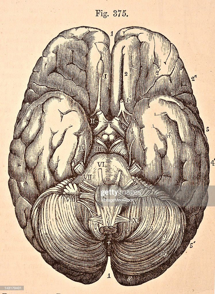 A medical illustration from 'Quain's Elements of Anatomy Eighth Edition VolII' depicts the base of the brain with the origins of the cerebral nerves...