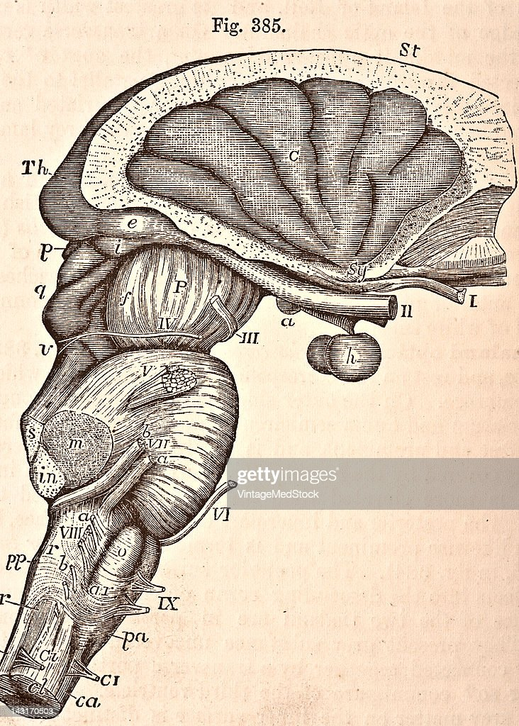 A medical illustration from 'Quain's Elements of Anatomy Eighth Edition VolII' depicts the view of the medulla oblongata pons varolii crura cerebri...