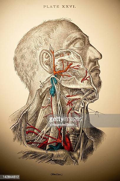 A medical lithograph from 'A System of Human Anatomy Including its Medical and Surgical Relations' illustrates the muscular and cardiovascular...