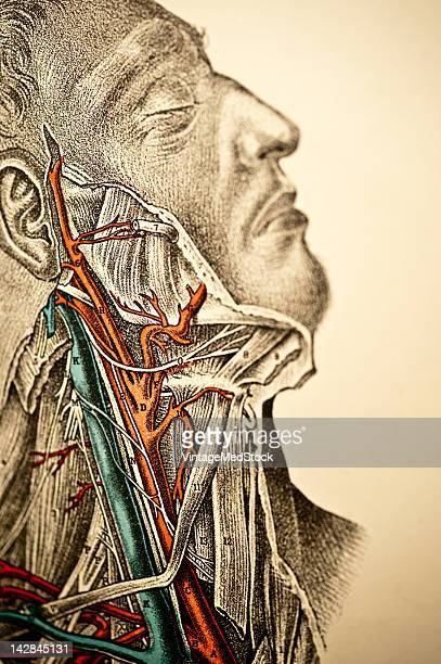 A medical lithograph from 'A System of Human Anatomy Including its Medical and Surgical Relations' illustrates the veins and arteries of the human...