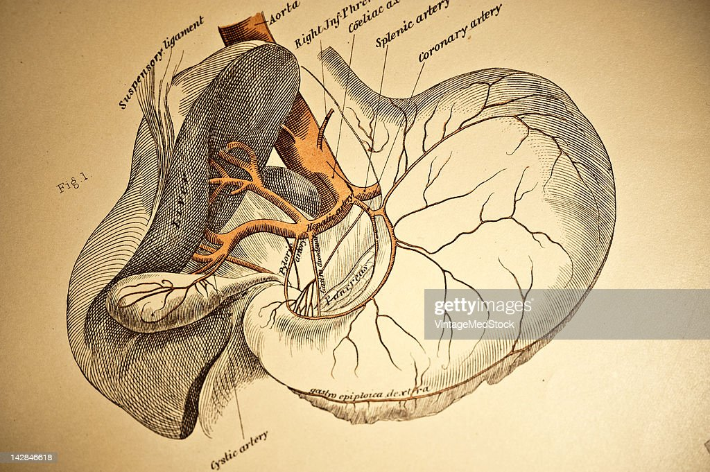 A medical lithograph from 'A System of Human Anatomy Including its Medical and Surgical Relations' illustrates the cardiovascular system of...