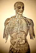 A medical lithograph from 'A System of Human Anatomy Including its Medical and Surgical Relations' illustrates autopsy of the human torso 1883 Major...