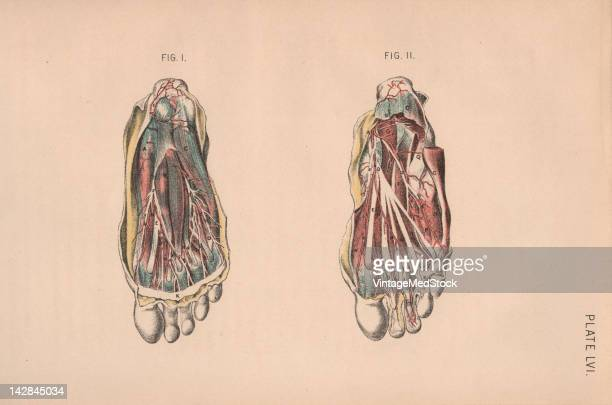 A medical lithograph from 'Illustrations of Dissections' illustrates the muscular and cardiovascular systems of the human foot 1882