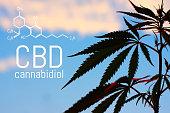 Medical Marijuana and Cannabidiol (CBD Oil) chemical formula. Growing premium cannabis products. Influence (positive and negative) of smoking marijuana on human brain, nervous system, mental activity
