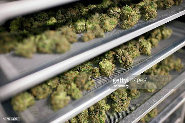 Medical marijuana buds dry in preparation for final packaging at the Tweed Inc facility in Smith Falls Ontario Canada on Nov 11 2015 Construction and...