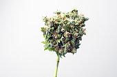 medical marijuana bud auto kush Indian Indica, thc and cbd  popular famous strain