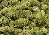 Dried and processed medical marijuana 'buds,' trimmed and ready for use, legally cured and produced in California.