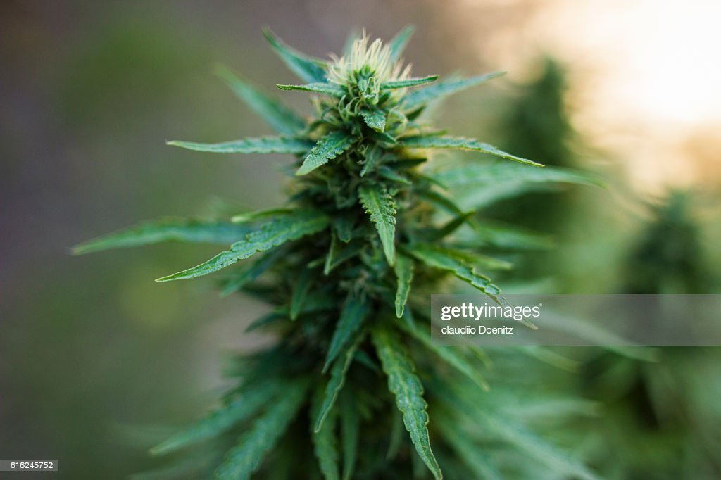 medical marijuana : Stock Photo