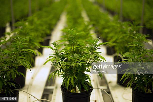 Medical marijuana plants grow in a climate controlled growing room at the Tweed Inc facility in Smith Falls Ontario Canada on Nov 11 2015...