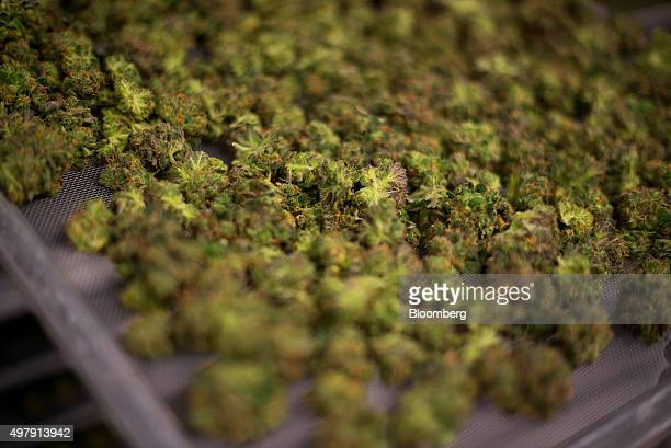Medical marijuana sits in one of the drying rooms at the Tweed Inc facility in Smith Falls Ontario Canada on Nov 11 2015 Construction and marijuana...
