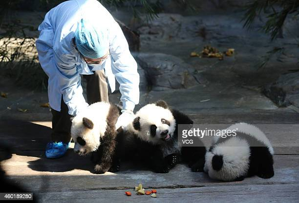 Medical staff place the world's only panda triplets together at Chimelong Safari Park on December 9 2014 in Foshan China The world's only live giant...