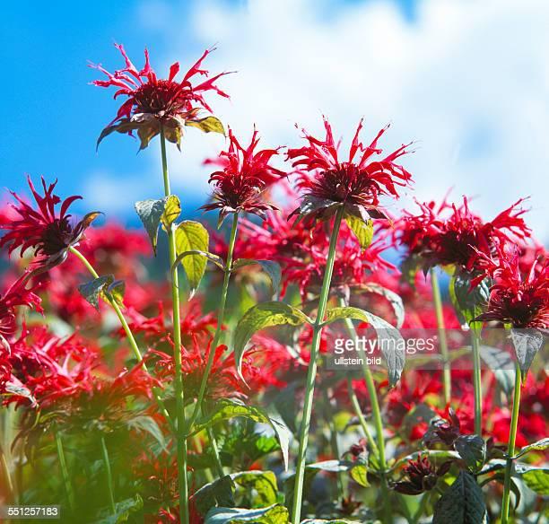 medicinal herb Monarda didyma crimson beebalm scarlet beebalm scarlet monarda Oswego tea bergamot