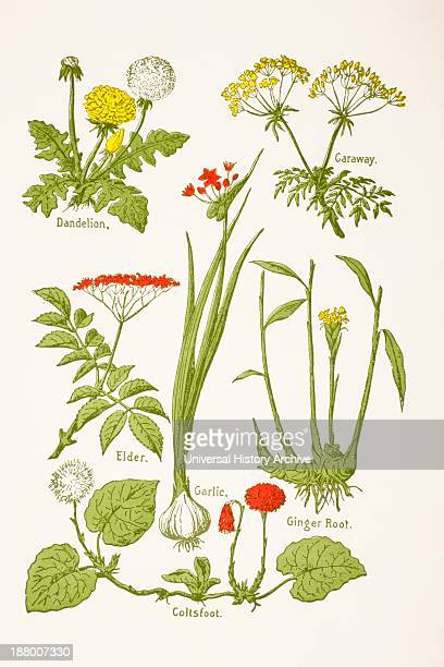 Medicinal Herbs And Plants Clockwise From Top Left Dandelion Caraway Ginger Root Coltsfoot Garlic Elder From Virtue's Household Physician Published...