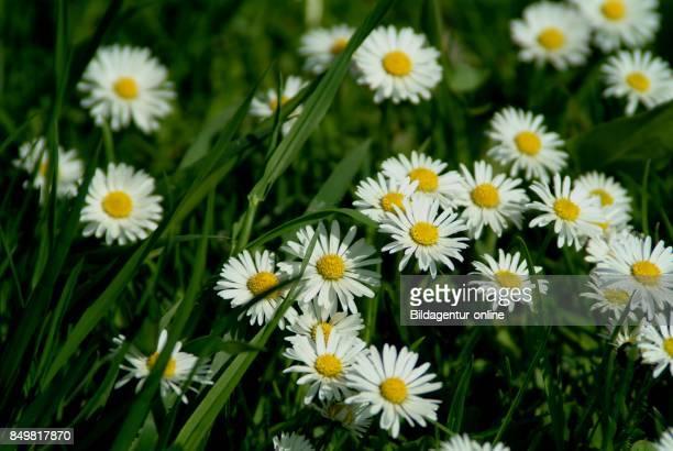 Medicinal Plant Bellis Perennis Common Daisy Lawn Daisy or English Daisy
