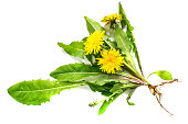 Medicinal plant dandelion (Taraxacum officinale) on a white background. Dandelion - edible plant and nectariferous