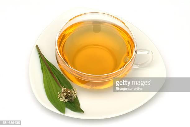 Medicinal tea made of Plantago laneolata Long leaved plantain Ribwort plantain