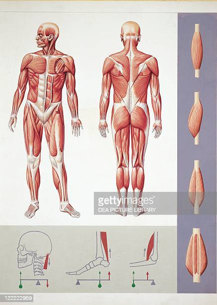 Medicine Anatomy Musculoskeletal system Muscles Drawing