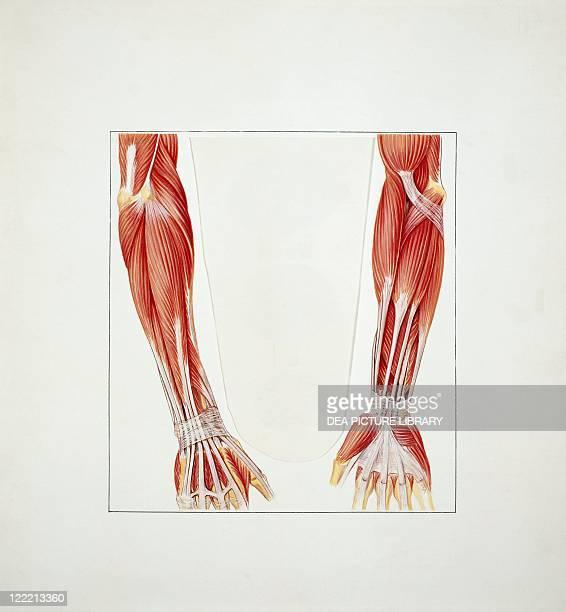 Medicine Anatomy Musculoskeletal system Skeleton Upper limb Forearm Drawing