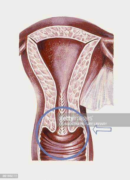 Medicine Human body Reproductive system uterus illustration