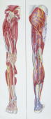 Medicine Human leg front and back view with arteries veins and nerves illustration