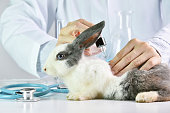 Medicine research, Scientist testing drug in rabbit animal, Drug research and development concept.