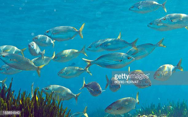 Mediterranean bream fish are pictured in the Mediterranean Sea off the Sormiou creek near Marseille in southern France on September 7 2012 An...