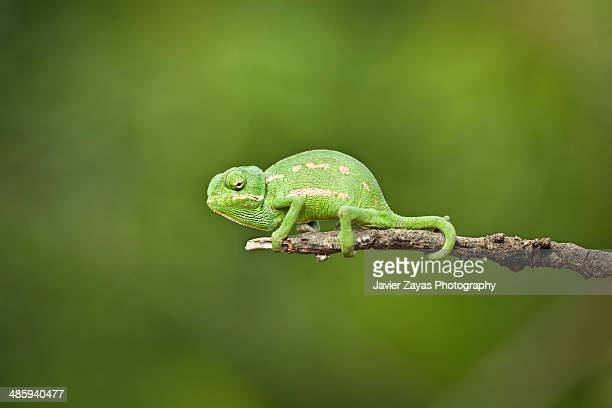 Mediterranean Chameleon - Camaleon mediterraneo