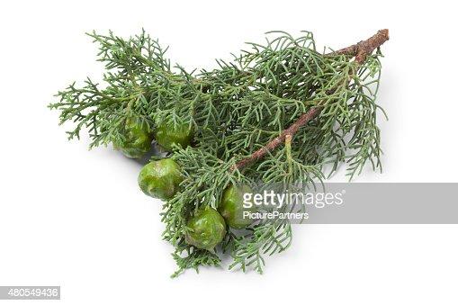 Mediterranean Cypress cones and foliage : Stock Photo