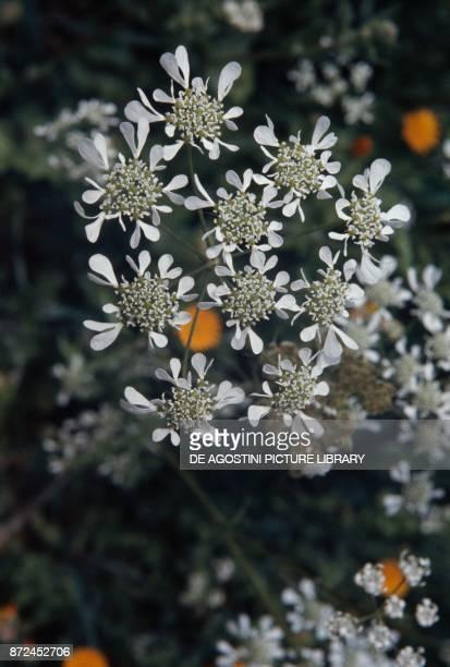 Mediterranean hartwort Apiaceae