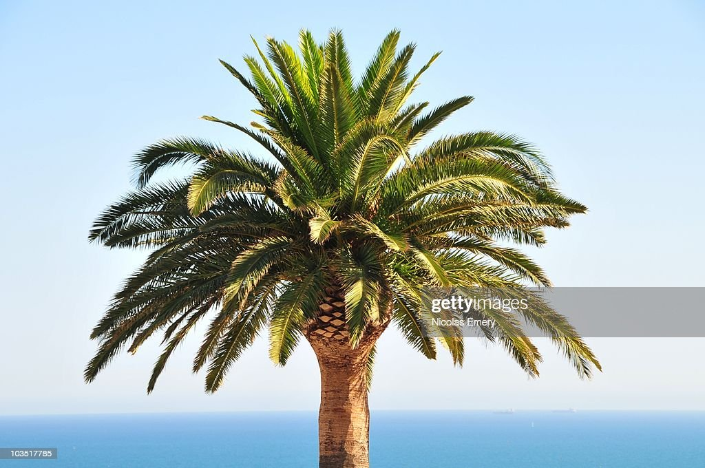 Mediterranean Palm Tree : Stock Photo