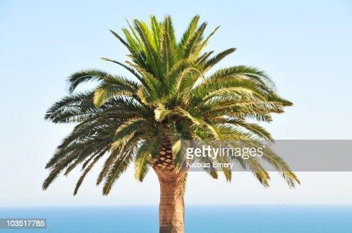 Mediterranean Palm Tree : Stock Photo