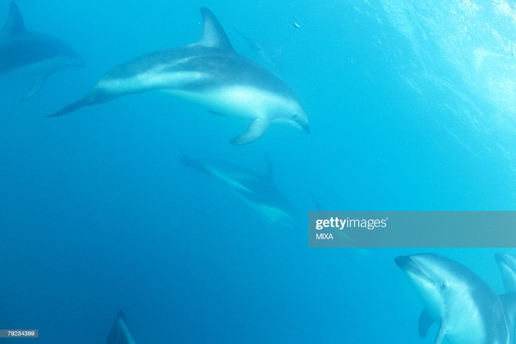 Medium group of dolphins swimming underwater : Stock Photo