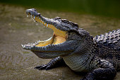 a young crocodile is opening its mouth.