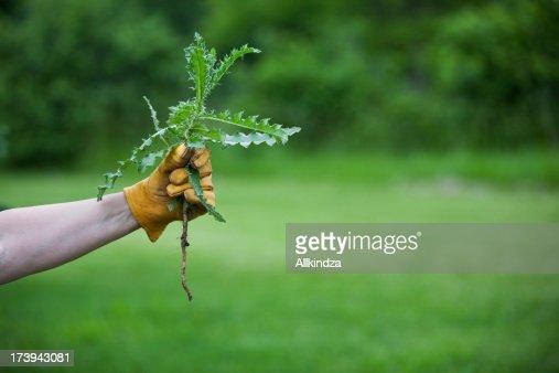 medium thistle in gloved hand horz