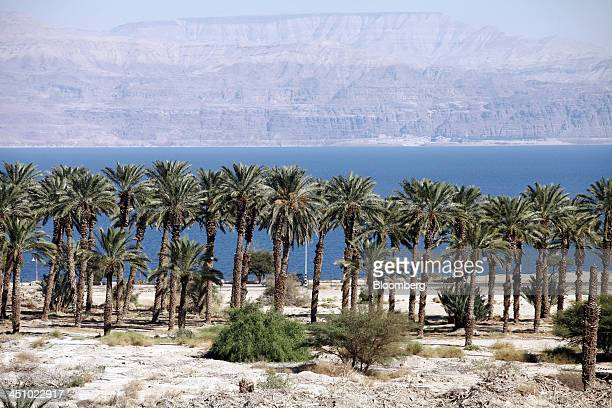 Medjool date palm trees stand on the banks of the Dead Sea near Kibbutz Gilgal Israel on Sunday Oct 20 2013 The Medjool whose name means 'unknown' in...
